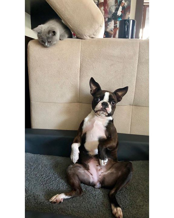 Szerintetek ha a kanapé oldalához lapulok, Hope észrevesz?  @sarkozi_akos @eva_sarkozi.art @hailey_dog_01 #bostonterrier #britcat #pet #cat #dog #mylife #littledog #littlecat #funnyanimals #funny #love